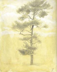 """White Pine"", 9x12 silverpoint on toned paper"